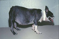 Dog with cushings syndrome - note how large the belly has become